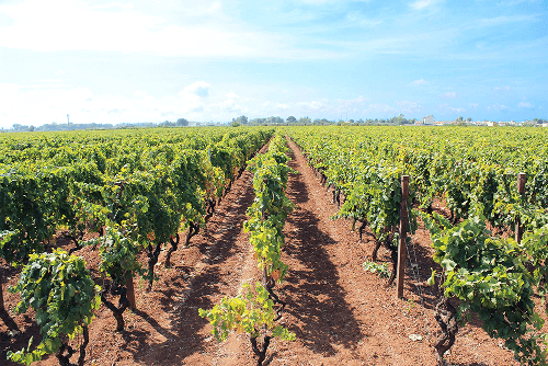 Rebstöcke von Farnese Vini in Apulien