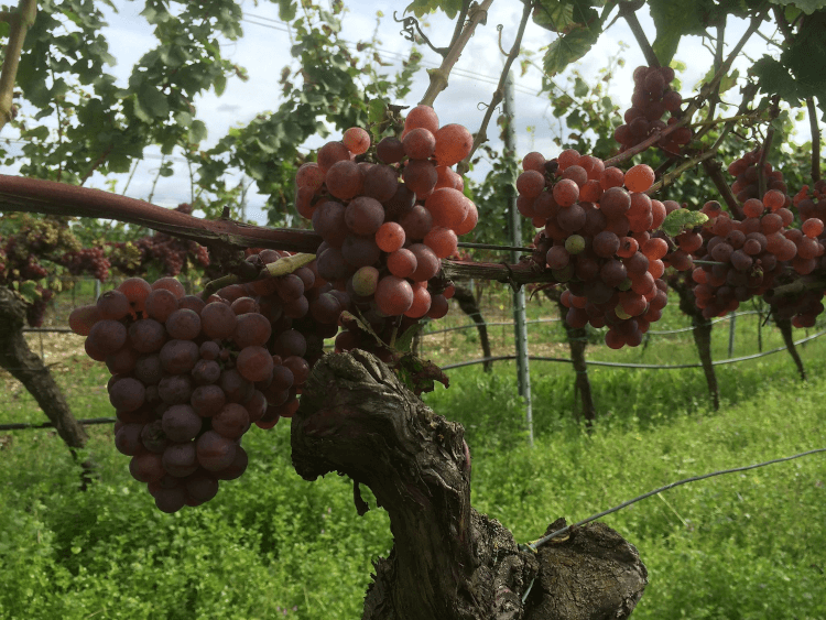 červené, zrelé hrozno z Weingut Lukas Kesselring